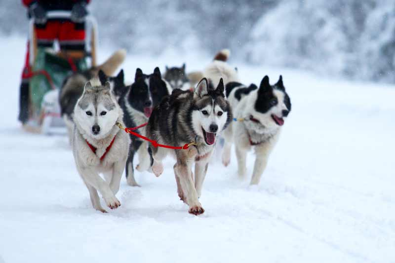 dog sledding jackson hole adventures